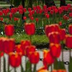 Tourists and locals flocked to Boston's Public Garden to enjoy and photograph the tulips, many of which were in full bloom on April 29.